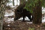 Кабан в лесу, архивное фото