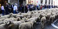 Тысячи овец прошли по улицам Мадрида
