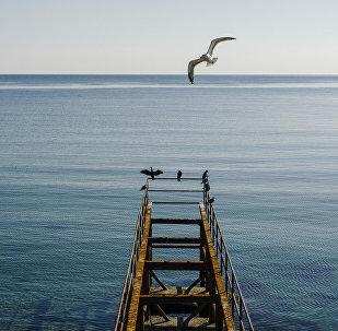 თოლია შავი ზღვაზე