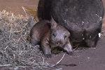 Малыш длинношерстного вомбата в американском зоопарке