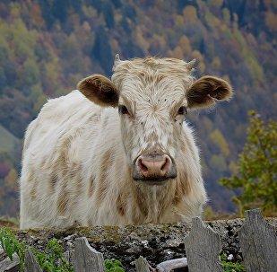 Виды региона Сванети - краски осени. Корова в частном дворе в деревне Цвирми