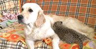 Собака выкармливает детеныша леопарда во Владивостоке