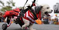 ძაღლები სამეჯლისო კოსტიუმებით ჰელოუინზე პერუში