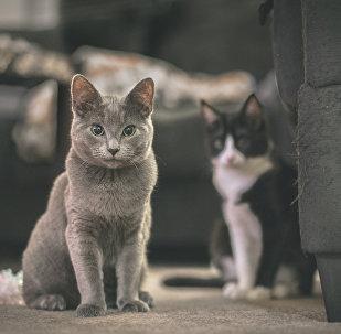 კატები