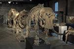 """Скелеты """"семьи"""" мамонтов, найденные в Сибири, уйдут с молотка"""