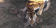 Амурские тигрята родились в парке Тайган в Крыму
