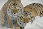 Тигры охотятся на дрога