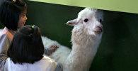 В тайваньском кафе в Нью-Тайбэе владелец поселил нескольких альпак