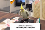 Четкая чечетка от попугая Тоторо