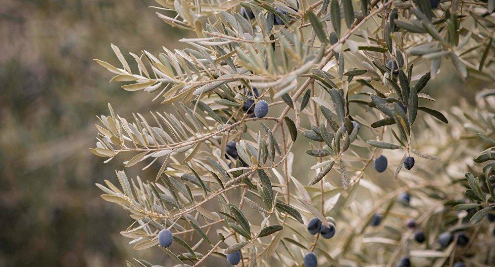 Оливковое дерево в Кахети