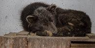 Загадочный медведопес