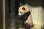 Шестимесячную панду впервые показали публике в токийском зоопарке