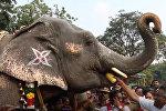 В Индии слонам проводят спа-процедуры
