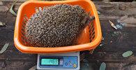 Реабилитация толстых ежиков в Тель-Авиве