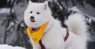 Собака участников гонок на собачьих упряжках во время соревнований по ездовому спорту в Новосибирске