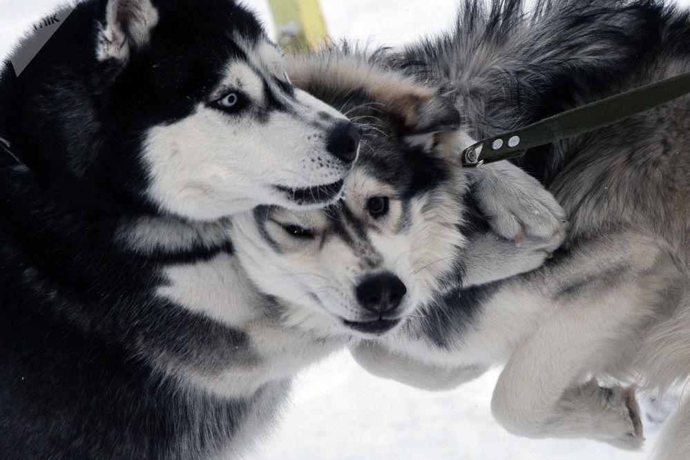 Между выступлениями собаки и их хозяева отдыхали и набирались сил