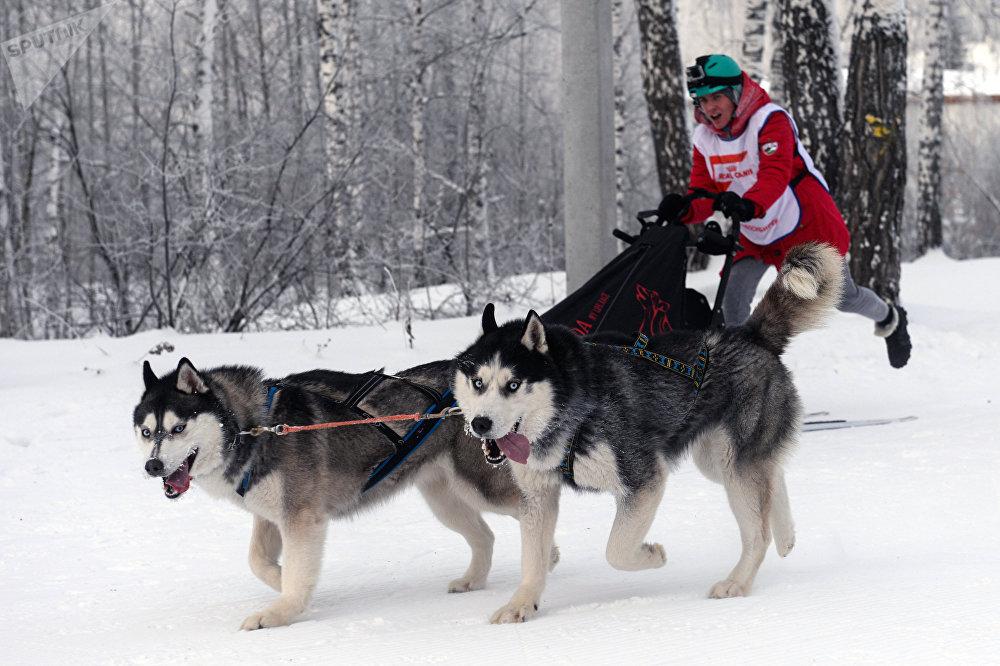 В упряжке собаки развивали скорость до 27 км/ч
