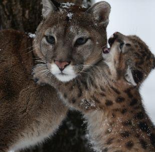 Самка пумы Милана с детенышем, родившимся в Новосибирском зоопарке