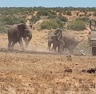 Слоненка в Африке спасли из ямы с грязью