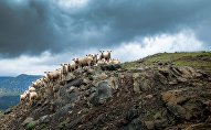 Стадо овец на склоне горы