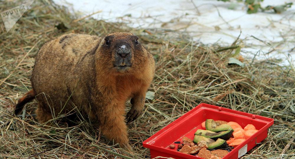 Сурки вМосковском зоопарке проспят День сурка 2февраля