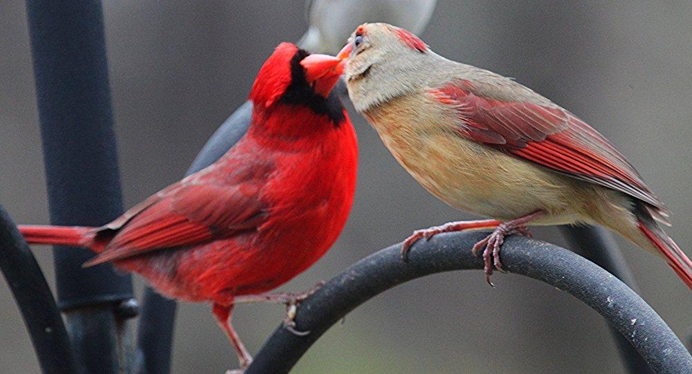 შეყვარებული ჩიტები