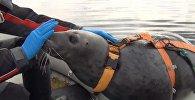 Военные тюлени: как в Мурманске готовят животных к армии