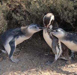 Магеллановы пингвины в Пунта Томбо: как играют животные