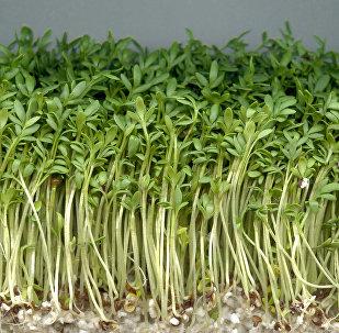 წიწმატის სახეობა Garden cress