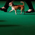 Владелец ведет свою собачку породы чихуахуа на крупной выставке собак Crufts Dog Show в Бирмингеме, Великобритания