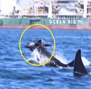 Касатки растерзали дельфина