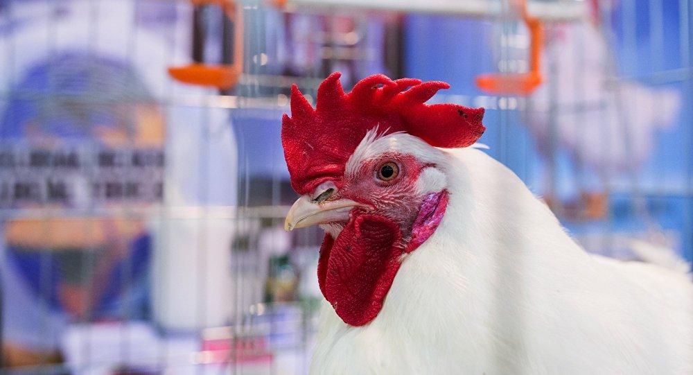 После нападения хищника курица живёт без головы уже 7 дней