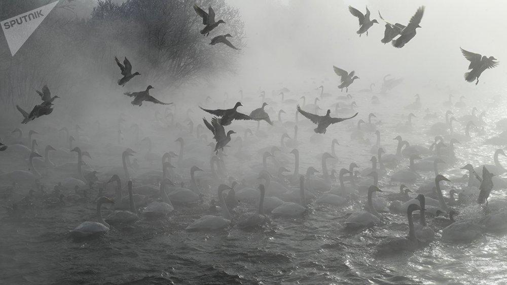 После обледенения площадь озера заметно уменьшилась. Но несмотря на это, места хватило для всех зимующих лебедей