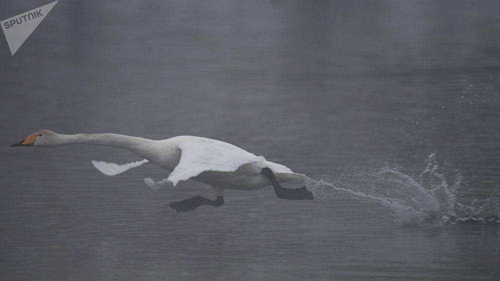 В связи с столь экстремальными морозами этой зимой лебедей старались кормить чаще. Каждый день им выделяли порядка 300 килограмм смеси овса, гороха и ячменя