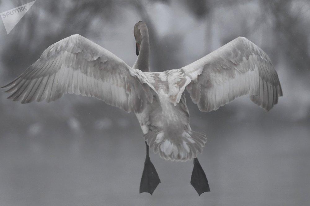 Популяция лебедей, обитающих здесь, уникальна тем, что практически изолирована от других