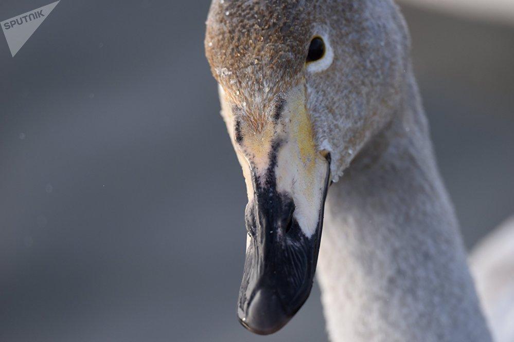 В России всего два заказника, где зимуют лебеди-кликуны: в Анадырском районе Чукотского автономного округа и в Советском районе Алтайского края на озере Светлом