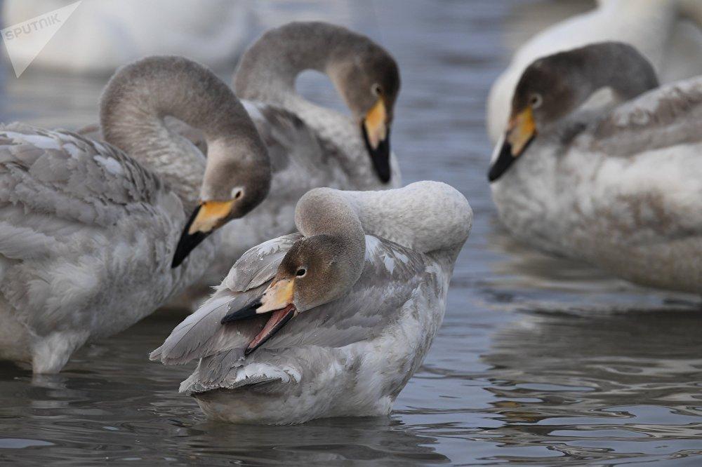 Лебеди-кликуны - очень осторожные птицы. Им нужен покой, и чтобы их не беспокоить, доступ людей на озере Светлом ограничен