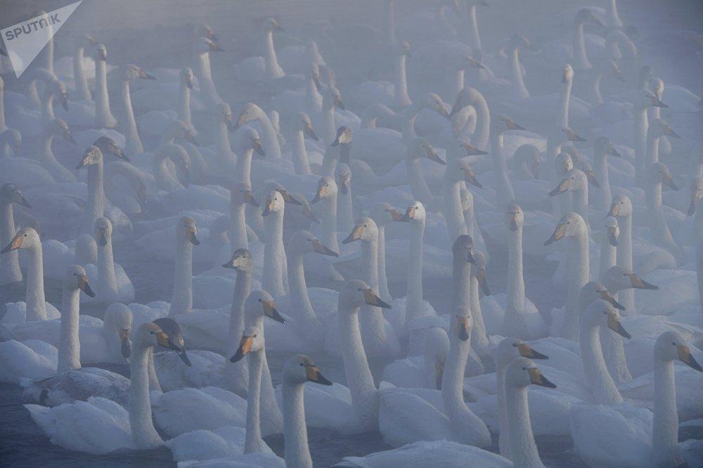 Каждый год сотни лебедей прилетают на озеро Светлое Алтайского края на зимовку