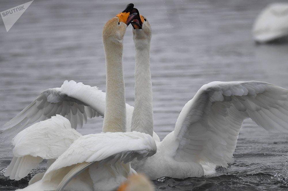 Это единственное место в зоне континентального климата Алтайского края, где лебеди остаются на зиму